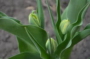 Завязи тюльпанов